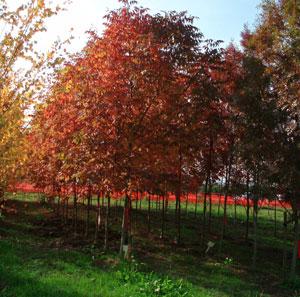 Fast Growing Shade Trees Fruit Tree Nursery Identifying Trees Big Tree Supply