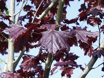 Crimson King Maple Big Tree Supply