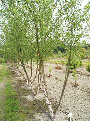 Trees Inc Http Treesupply One Of The Largest Tree Transplant And Nursery Companies In Seattle Area Is Preparing To Plant An