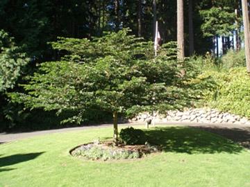 Japanese Snowbell Big Tree Supply