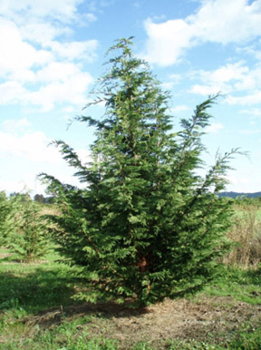 Mature leyland cypress for sale